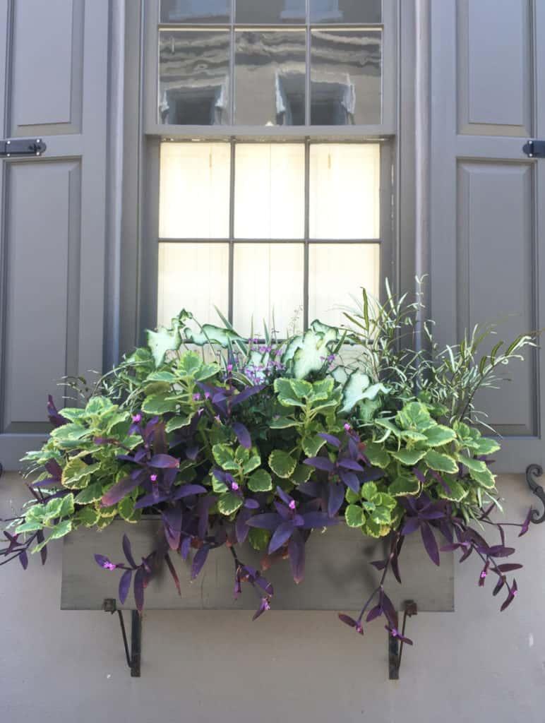 Charleston Window Box Gray Building with Purple Flowers
