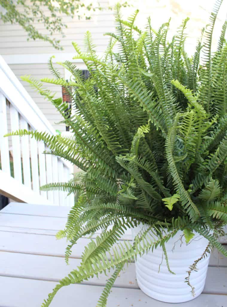 Top 5 Friday: Our Favorite Easy Outdoor Plants fern