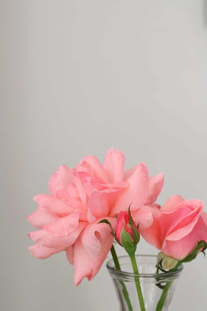 Top 5 Friday: Our Favorite Easy Outdoor Plants rose