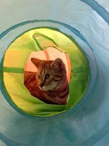 Local Spotlight: Mac Tabby Cat Cafe, Charlotte, NC tabby